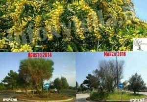 Acacia saligna, pianta ospite della Xylella